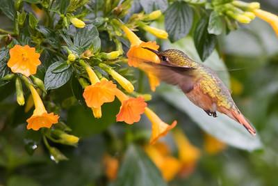 Scintillant Hummingbird - Record - Los Quetzales Lodge, Guadalupe, PA