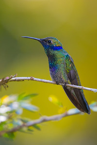 Sparkling Violetear - Cock-of-the-Rock Lodge, Nr. Manu National Park, Peru