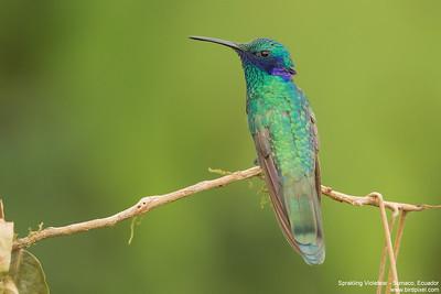 Sprakling Violetear - Sumaco, Ecuador
