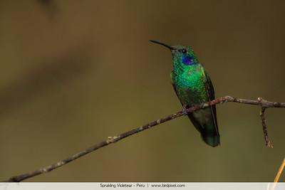 Sprakling Violetear - Peru