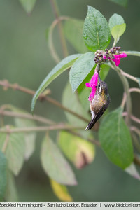 Speckled Hummingbird - San Isidro Lodge, Ecuador