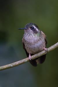 Speckled Hummingbird - Refugio Paz de las Aves, Ecuador