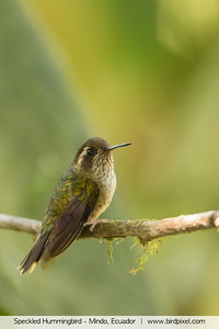 Speckled Hummingbird - Mindo, Ecuador