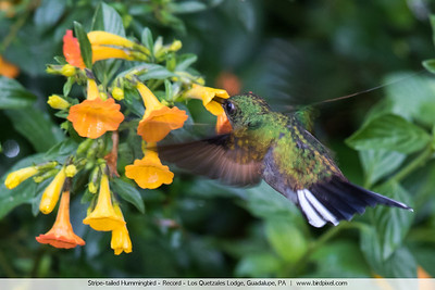 Stripe-tailed Hummingbird - Record - Los Quetzales Lodge, Guadalupe, PA