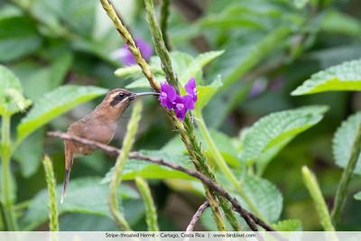Stripe-throated Hermit - Cartago, Costa Rica