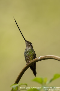 Sword-Billed Hummingbird  - Papallacta, Ecuador