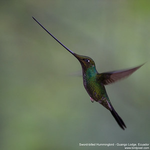 Sword-billed Hummingbird - Guango Lodge, Ecuador