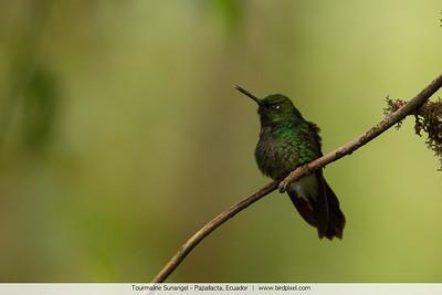 Tourmaline Sunangel - Papallacta, Ecuador