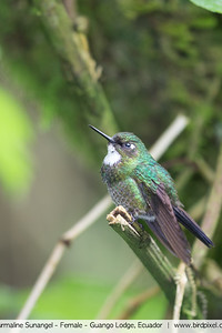 Tourmaline Sunangel - Female - Guango Lodge, Ecuador