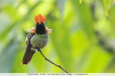 Tufted Coquette - Female - Asa Wright Nature Center, Trinidad