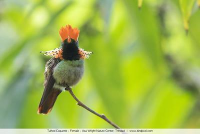 Tufted Coquette - Female - Asa Wright Nature Center, Trinidad