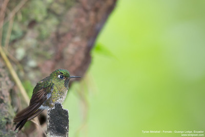 Tyrian Metaltail - Female - Guango Lodge, Ecuador