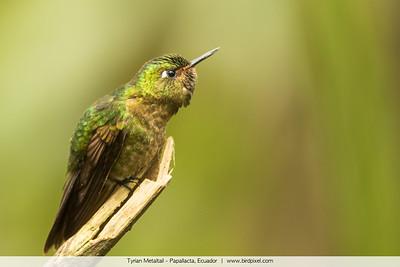 Tyrian Metaltail - Papallacta, Ecuador