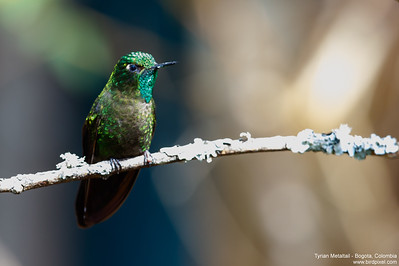 Tyrian Metaltail - Bogota, Colombia