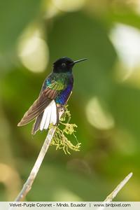 Velvet-Purple Coronet - Mindo, Ecuador