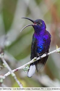 Violet Sabrewing - Los Quetzales Lodge, Guadalupe, PA