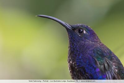 Violet Sabrewing - Portrait - Los Quetzales Lodge, Guadalupe, PA