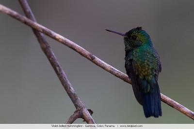 Violet-bellied Hummingbird - Gamboa, Colon, Panama
