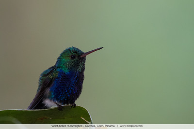 Violet-bellied Hummingbird - Gamboa, Colon, Panama