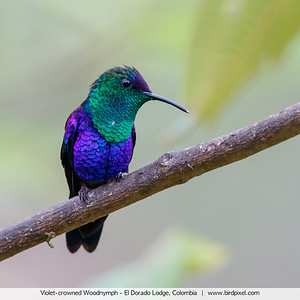 Violet-crowned Woodnymph - El Dorado Lodge, Colombia