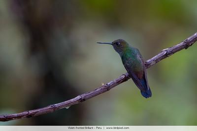 Violet-fronted Brilliant - Peru