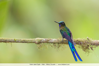 Violet-tailed Sylph - Male - Mindo, Ecuador