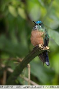 Violet-tailed Sylph - Female - Guango Lodge, Ecuador