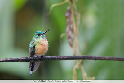 Violet-tailed Sylph - Female - Guango Lodge, Ecuador
