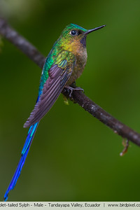 Violet-tailed Sylph - Male - Tandayapa Valley, Ecuador