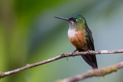 Violet-tailed Sylph - Refugio Paz de las Aves, Ecuador