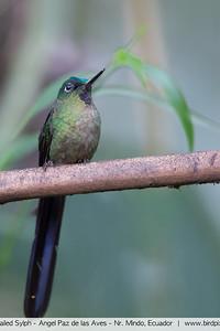 Violet-tailed Sylph - Angel Paz de las Aves - Nr. Mindo, Ecuador