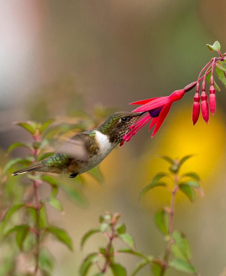 Volcano Hummingbird- female