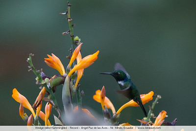 Wedge-billed Hummingbird - Record - Angel Paz de las Aves - Nr. Mindo, Ecuador