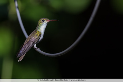 White-bellied Emerald - Green Hills, Belize