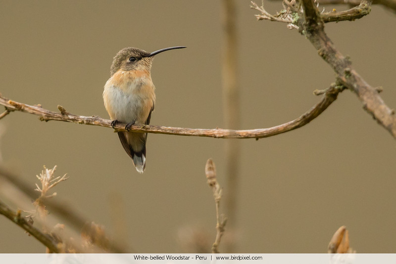 White-bellied Woodstar - Peru