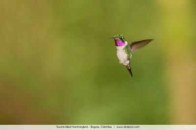 Sword-billed Hummingbird - Bogota, Colombia