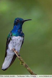 White-necked Jacobin - Tandayapa Valley, Ecuador