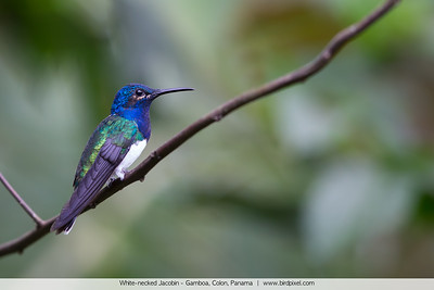 White-necked Jacobin - Gamboa, Colon, Panama
