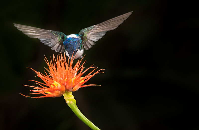 White necked jacobin