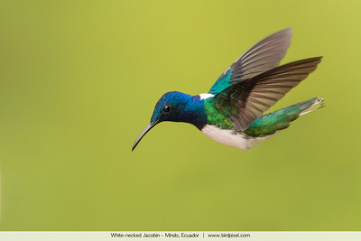 White-necked Jacobin - Mindo, Ecuador