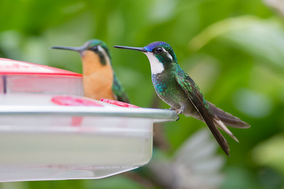 White-throated Mountain-gem - Female & Male - Savegre, Costa Rica
