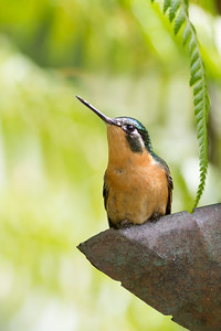White-throated Mountain-gem - Female - Record - Savegre, Costa Rica