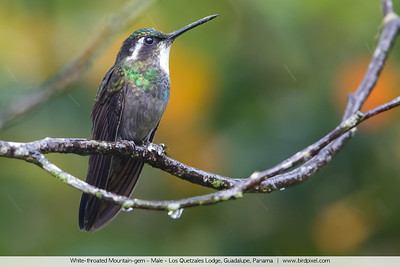 White-throated Mountain-gem - Male - Los Quetzales Lodge, Guadalupe, Panama