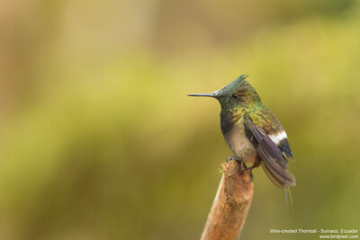 Wire-crested Thorntail - Sumaco, Ecuador