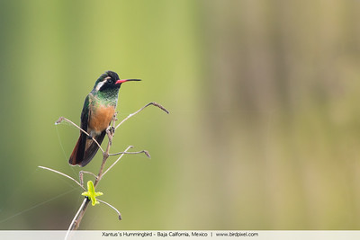 Xantus's Hummingbird - Baja California, Mexico