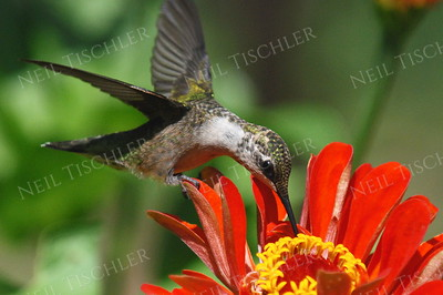 #918  A ruby throated hummingbird sips from a red zinnia
