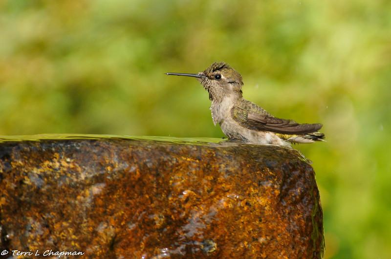 A female Black-chinned Hummingbird taking a bath