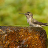 A female Black-chinned Hummingbird taking a bath