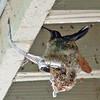 Blue-throated Hummingbird on Nest