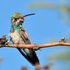 Broad-billed Hummingbird at Ash Canyon B&B,AZ.